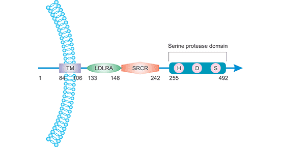 The location and structure of TMPRSS2 protein