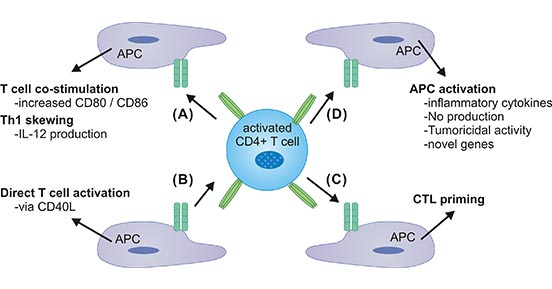 CD40 and CD40L interaction on APCs