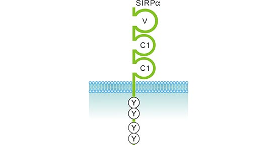 The structure of SIRPα