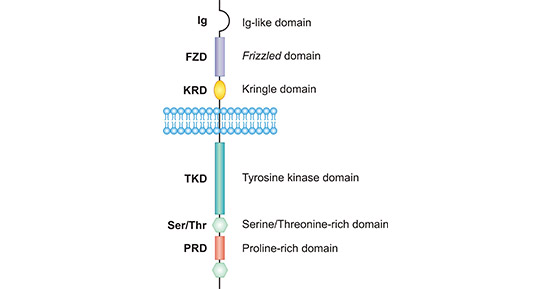 The structure of ROR1