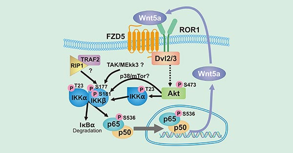 The diagram of Wnt5a/ROR1 signaling