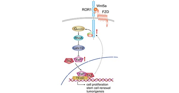 Crosstalk between Wnt5a-ROR1 signaling and YAP/TAZ signaling pathway