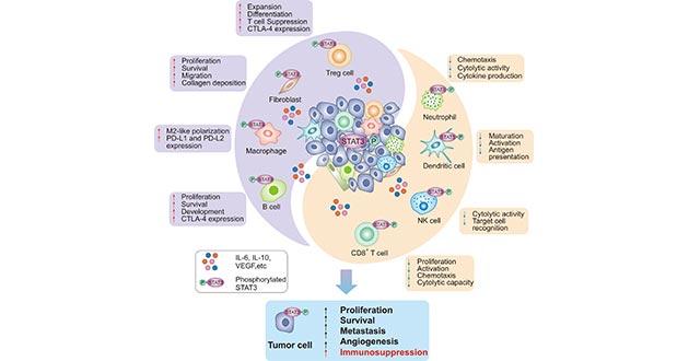 STAT3: a Key Transcriptional Regulator in Cancer