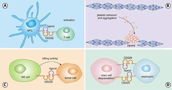 CD226 function on NK, CD8 + T cells, and APCs