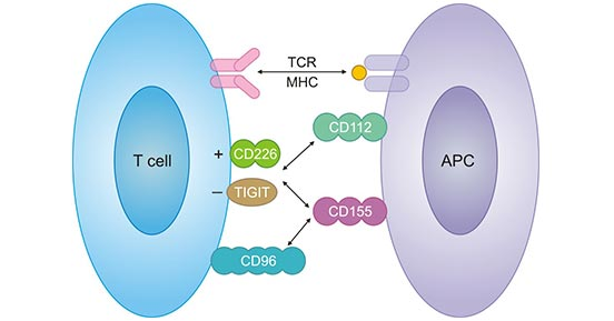 Schematic illustration of CD226/TIGIT pathway