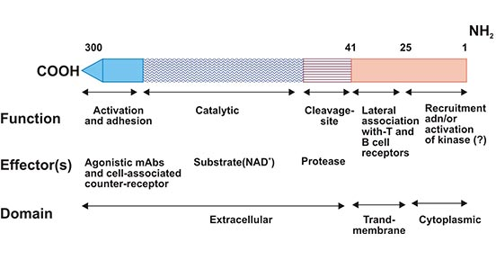 Schematic representation of CD38 structure