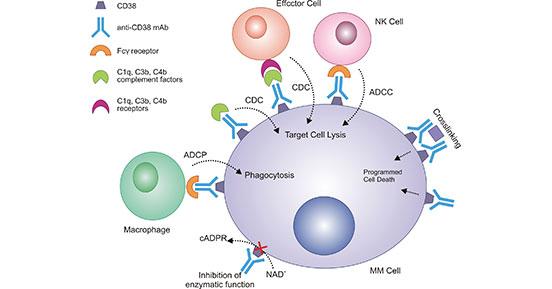 Mechanism of CD38 monoclonal antibody in multiple myeloma