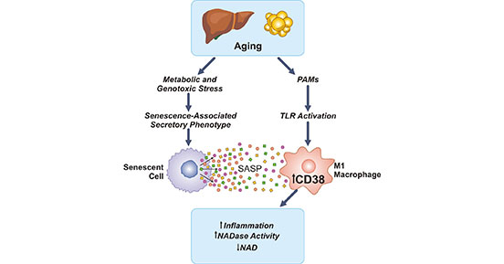 CD38 in the age-related NAD decline