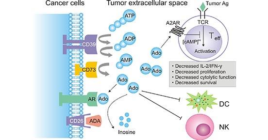 a diagram of extracellular adenosine metabolism in tumor-induced immune suppression