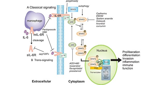 IL-6 leads to the activation of JAK/STAT3
