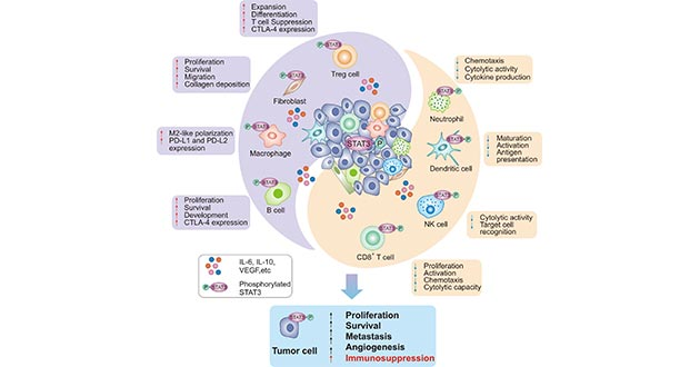 STAT3 induces the immunosuppression in the tumors