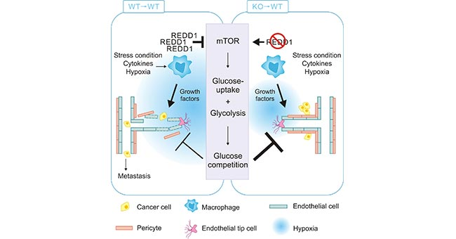 REDD1-deficient TAMs enhance glycolysis via activating mTOR pathway