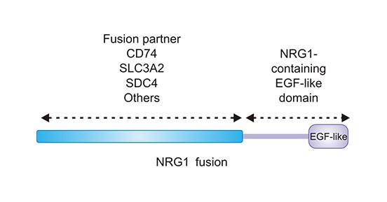 NRG1 fusions retain the EGF-like domain of NRG1
