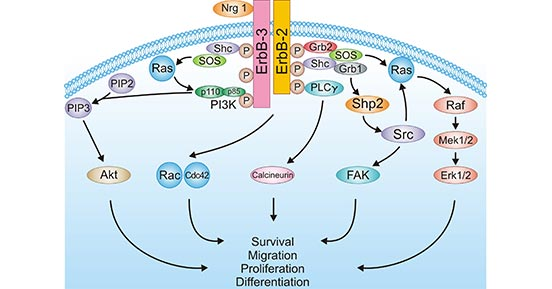 NRG1 binding to ERBB3/ERBB2 activates downstream pathways