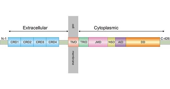 Schematic diagram for TNFR1 structure