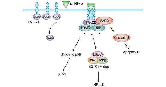 TNFR1-sTNF-α signaling pathway