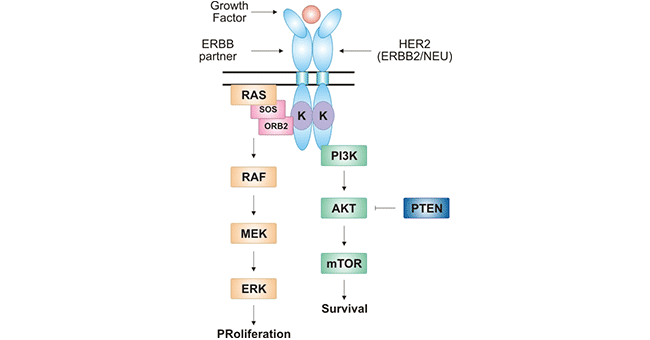 HER2-mediated signal transduction pathway