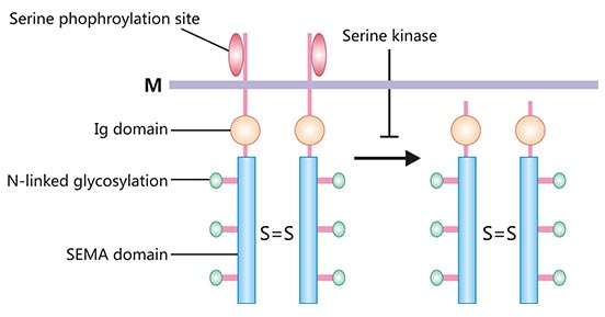 Schematic structure of SEMA4D protein