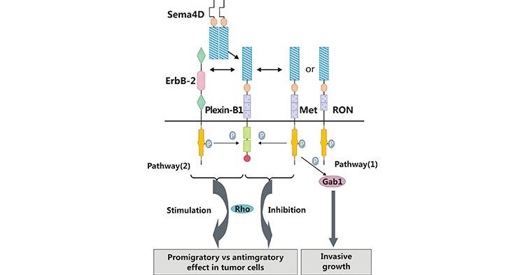 SEMA4D/Plexin-B1 activates downstream pathways