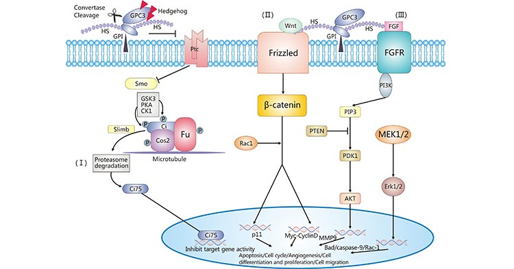GPC3-related signal transduction pathways