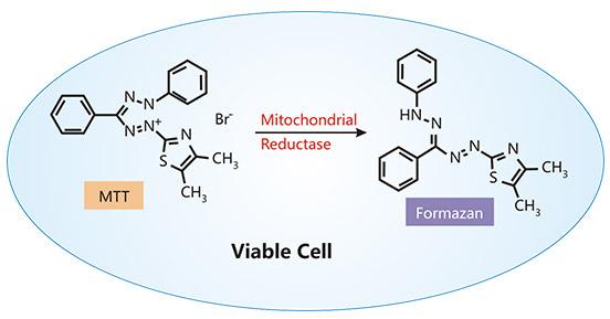 The measurement of cell viability through MTT assay
