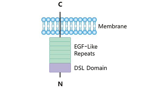 The structure of DLL3