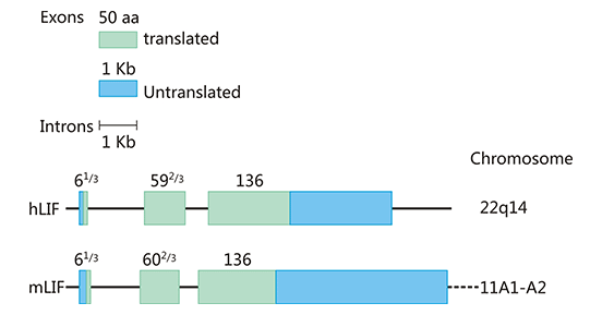 The structure of human and mouse LIF gene