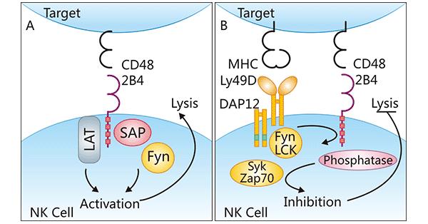CD48/CD244 regulatory mechanisms