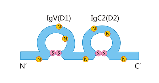 CD48 structure