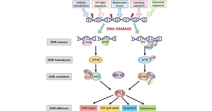 DNA Damage Response Signaling Pathway