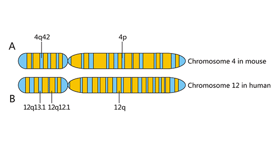 Chromosome localization of NKG2D