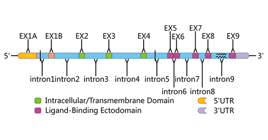 The gene structure of human NKG2D