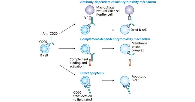 Mechanism of action of anti-CD20 antibodies