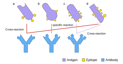 Cross-reactivity of Antibody: Beneficial or Harmful?
