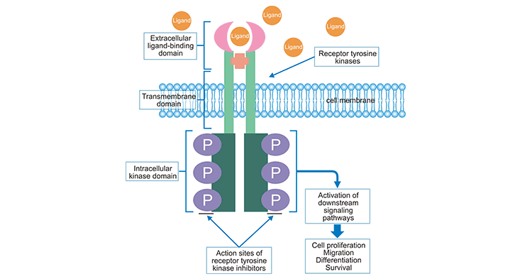 Activation of RTK and Its Involved Signaling Pathway