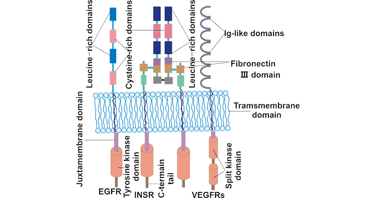 Structure of RTK subfamilies