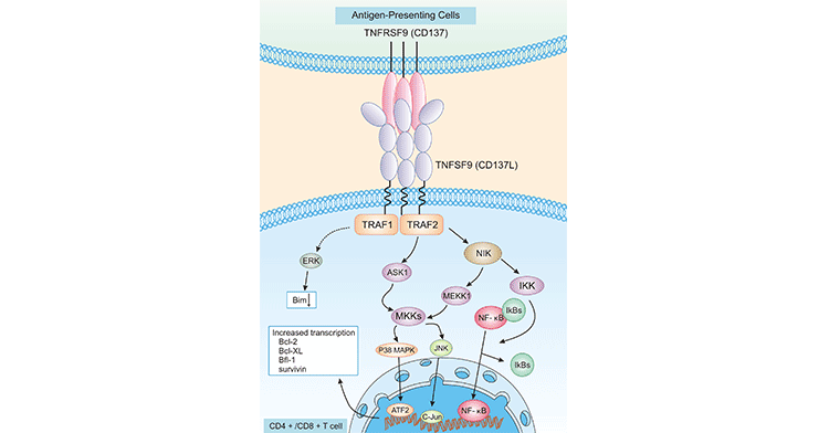TNFRSF signaling pathway on CD4+/CD8+ T cells