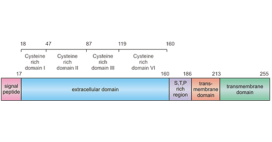 Schematic diagram for TNFRSF9 structure