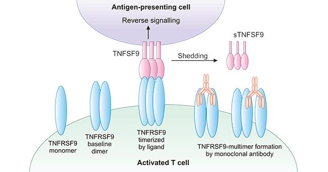 TNFSF9 send reverse signals on APCs