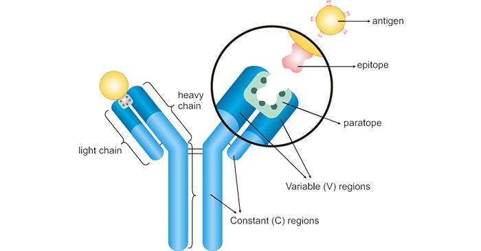 The structure diagram of antibody-antigen binding