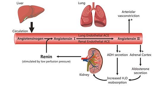 Renin–angiotensin–aldosterone system