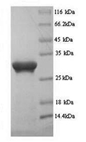The SDS-PAGE of Recombinant Human PD-L1