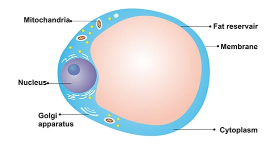 The Structure of Adipocyte