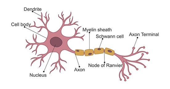 The Typical Structure of a Neuron