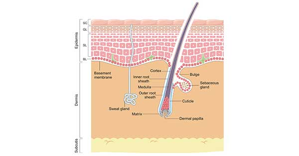 The Skin and Its Structure