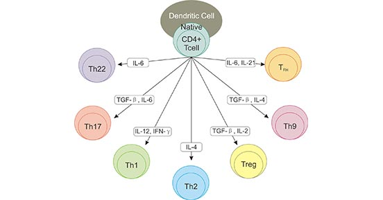 The Subtypes of CD4+ Cells