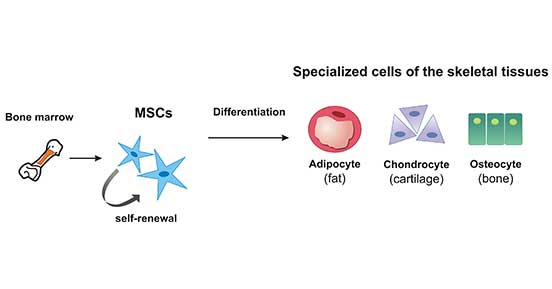 The Subtypes Of MSCs