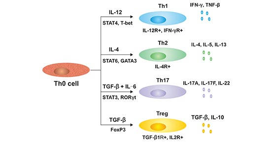 The subtyes of cells differentiated by Th0 cells