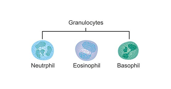 the main types of Granulocyte