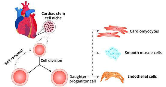 Functional properties of cardiac stem cells